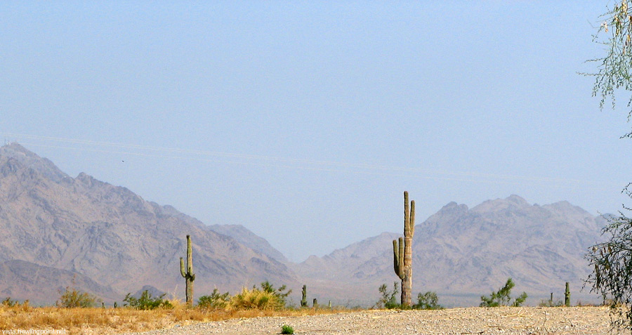 Standing tall: Cactus, looking west from somewhere on the US95 near the Yuma Proving Grounds in Arizona.