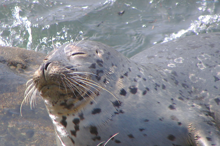Sunday a.m., September 16, 2007: Seal in bliss. Sunday morning, basking on the rocks behind the Children's Pool breakwater in La Jolla.