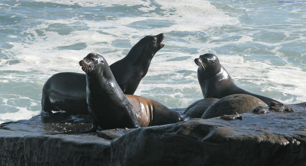 Monday morning, January 11, 2010: The High Surf Advisory was keeping most (not all, but most) of the humans out of their way in San Diego's La Jolla Cove, so these sea lions were alternating between riding some waves and playing 'king of the rock.'