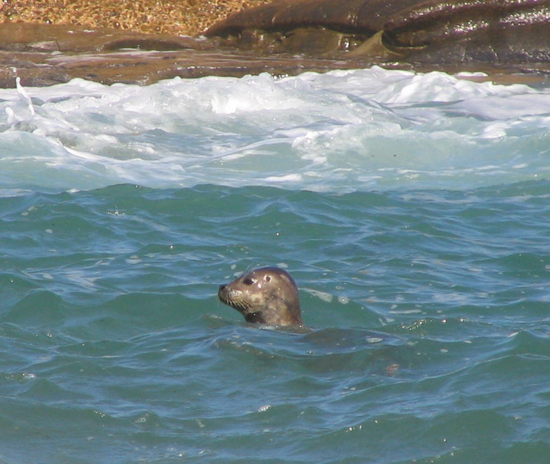 Seal at La Jolla: Seal swimming behind the protection of the breakwater at the La Jolla Children's Pool.