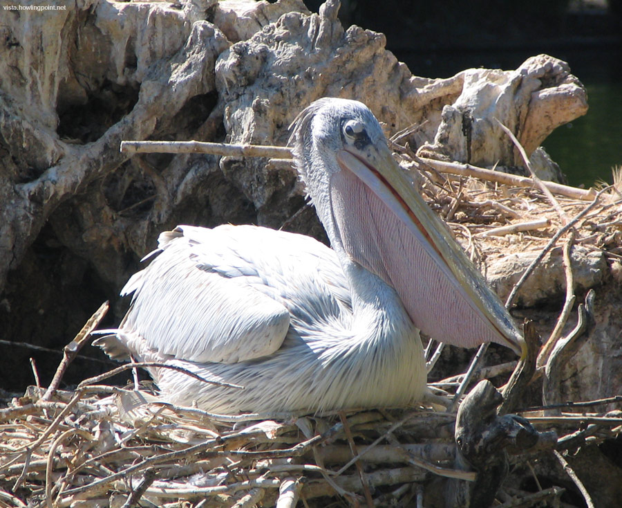 Pink-backed pelican: