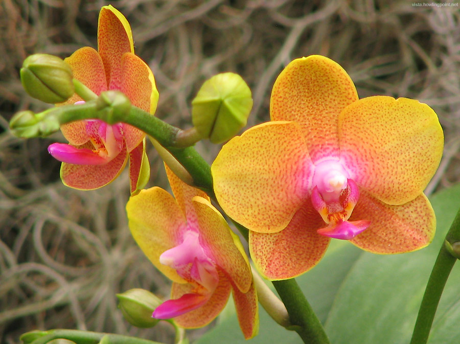 The Moth Orchid (Phalaenopsis):