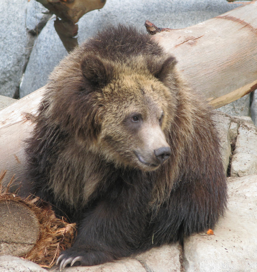 Grizzly bear cub: