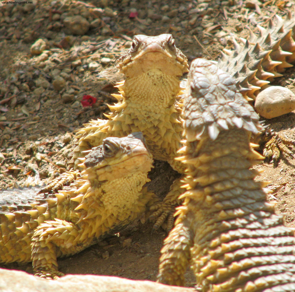 Horned Lizards: