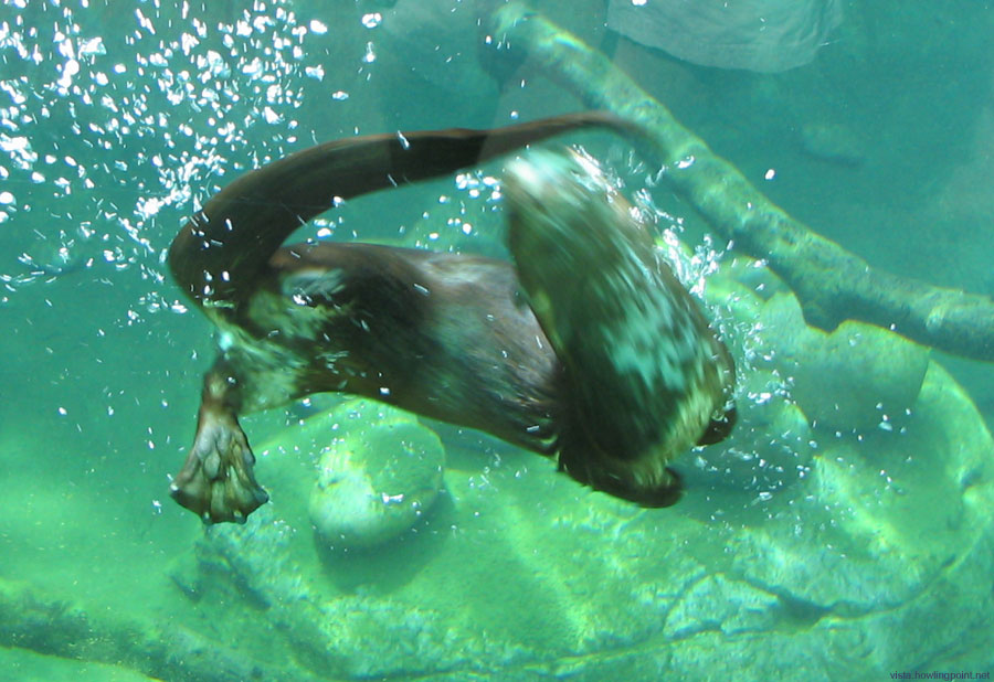 Otter chasing his tail: