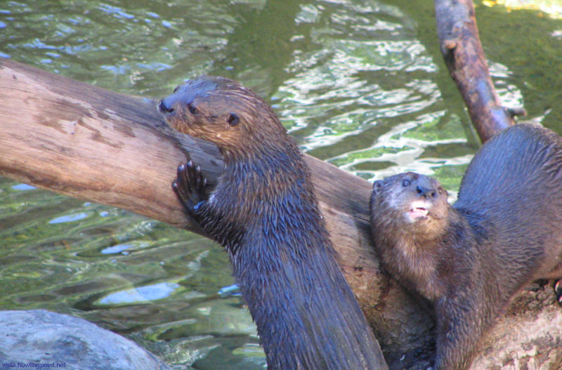 African Spot-necked Otters: