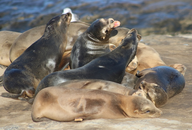Pile of (sea lion) pups