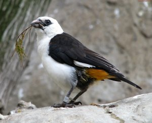 Northern White-Headed Buffalo Weaver