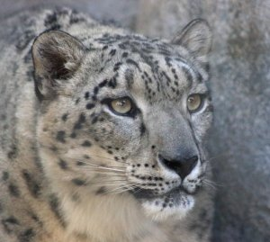 White Christmas Snow Leopard