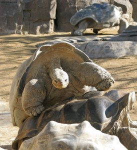 Big Tortoise pile-up