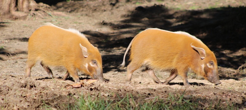 Red River Hogs (potamochoeros porcus)